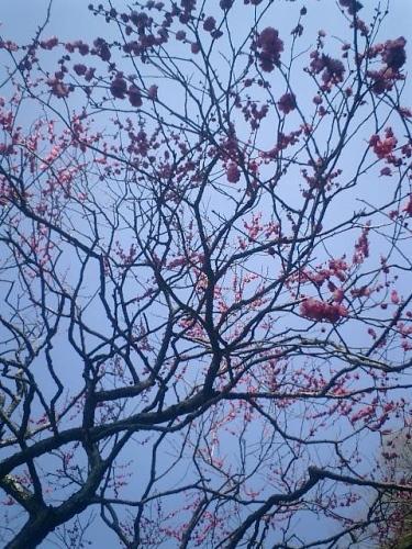 05)鎌倉市二階堂「荏柄天神社」11:30am頃。鎌倉で最初に咲くと言われる梅。
