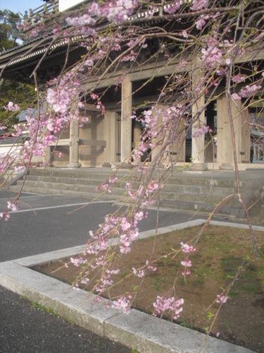 01) 山門周辺の桜、鎌倉「光明寺」.JPG