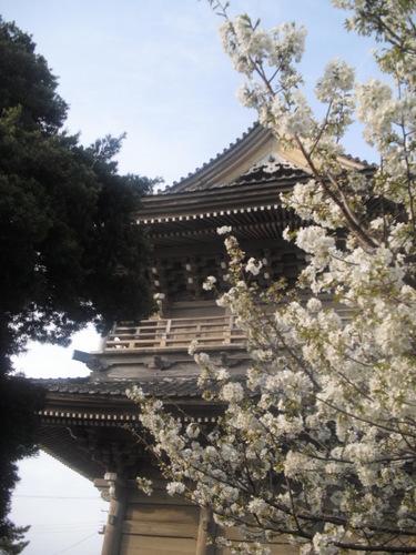 02) 山門周辺の桜、鎌倉「光明寺」.JPG